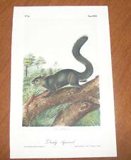 Audubon. Quadrupeds. Octavo. Dusky Squirrel.