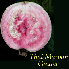 ~THAI MAROON~ Psidium guajava Reg Named GUAVA FRUIT TREE Live potted small plant