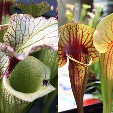 """S-044 """"Leah Wilkerson"""" x """"Bengal Tiger"""" - Sarracenia Seeds"""
