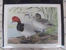 Original   1930 Rex Brasher #146  Hand Colored Bird Print  Redhead  #146REX2 DSS