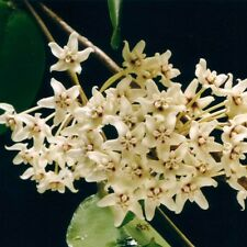 NATIVE HOYA/WAXFLOWER – HOYA AUSTRALIS – VERY FRAGRANT