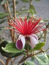 Eine tolle Pflanze: die schöne Ananas-Guave kann sehr groß werden.