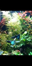 1 pair blue/green moscow guppies-Video