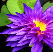 SALE!! BLUE Color Tropical BABY PLANT Nymphaea King Blue ME063B (see * **)