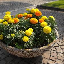 200 pcs flower Seeds marigold (Tagetes erecta)
