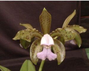 """Cattleya tigrina (leopoldii) 'coerulea X Dark Spot' Repotted 5"""" Pot (15)"""