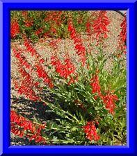 Easton's Penstemon  'Penstemon Eatonii' 50 Seeds! Comb. S/H Hummingbird plant!