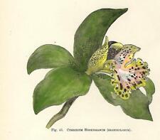 Stampa Antica FIORI ORCHIDEA CYMBIDIUM HOOKERIANUM Botanica 1896 Antique  Print