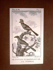 Cuculo Madagascar e Turaco Incisione su rame del 1813 Buffon Uccello Ornitologia
