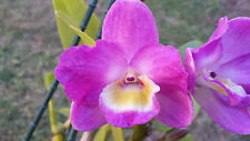 Orchid - Dendrobium Super Star 'Dandy'