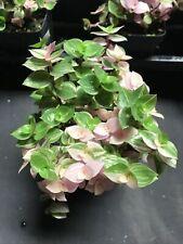 CALLISIA REPENS 'BIANCA' ADORABLE VARIEGATED WANDERING JEW PLANT !