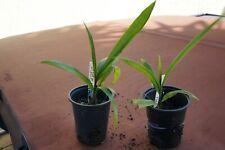 2 queen palm seedlings ( syagrus romonzoffiana ) , Hardy to Usda Zone 9A
