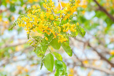 5 Seeds Pterocarpus santalinus good Container-Bonsai- Rare Seed Sale