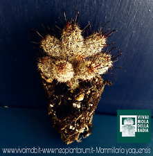 Mammillaria thornberi SSP. yaquensis alveolino 1 Pflanze 1 plant