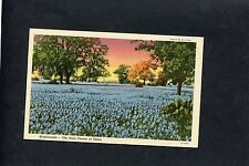 C1930's View Of bluebonnets, The State Flower Of Texas, USA.