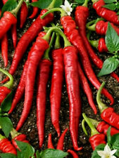Cayenne Long Slim Pepper Seeds, Heirloom Hot Pepper Seeds, Chili Peppers,  50ct