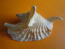 Sea Shells 120mm Strombus Gallus Lobatus Gallus Rooster Conch