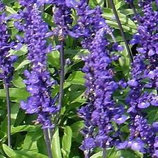 Salvia Rhea Seeds - Mealycup Sage Annual Compact Dense Flowers Rich Blue Reseeds
