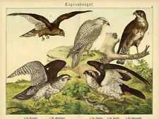 1886 SCHUBERT CHROMO osprey, goshawk, greenland falcon, marsh harrier, buzzard