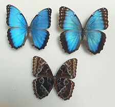 MORPHO HELENOR ssp.PELEIDES*pair*(mounted) COLOMBIA