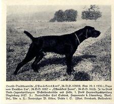 Ostmärkers Kerl Deutsch-Drahthaar Jagdhunde & Züchter 1930-40