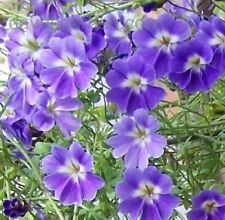 TROPAEOLUM AZUREUM PLANT ADDED TO YOUR COLLECTION 5 SEEDS PER PACK