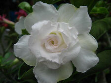 "Adenium Obesum ""Snowwhite"" Fresh&Viable 102 Seeds"