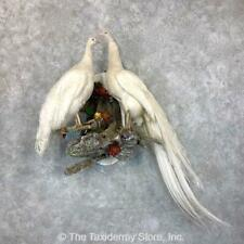 #23724 P* | White Peacock Pair Taxidermy Bird Mount For Sale