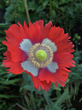 5000 Seeds - Danish Flag Poppy - Papaver somniferum