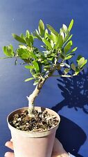 OLEA EUROPAEA var. CIPRESSINO v14  Ulivo bonsai pianta Common olive plant