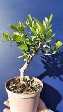 OLEA EUROPAEA var. CIPRESSINO v14  Ulivo bonsai pianta Common olive plant