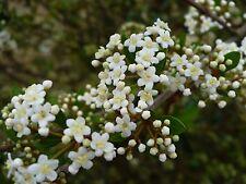 Walter's Viburnum    Viburnum obovatum   Bonsai Tree  25 Seeds   (Free Shipping)
