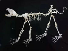 1 real mink skull, exquisite animal specimen, skull gift, full set of mink skull