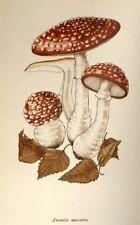 Amanita Muscaria : Mushroom : Magic Mushroom : Fine Giclee Print