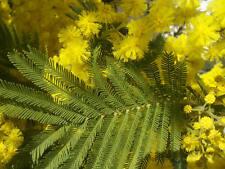 10 graines MIMOSA D'HIVER(Acacia Dealbata)BONSAÏ G372 SILVER WATTLE SEEDS SAMEN