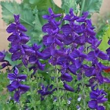40+ Blue Monday Salvia / Deer and Drought Resistant Sage / Perennial Flower Seed