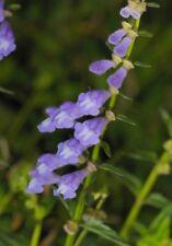 Real 50pcs Scutellaria baicalensis Georgi Chinese herbal Seeds