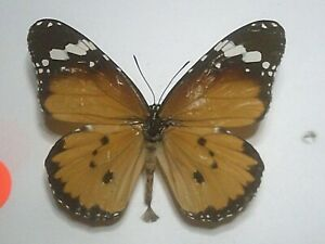 Real Dried Insect/Butterfly/Moth Non set B7683 Colourful Danaus chrysippus x 1