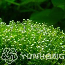 200 Pcs Seeds Antlers Moss Sagina Subulata Bonsai Decorative Grass Plants Garden