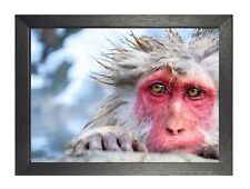 Red Faced Monkey Poster Funny Wild Ania 00006000 ml Picture Mammals Photo Ape Print