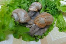 Breeding Snails - Helix Aspersa Maxima  3 ea live - escargot, pets ,caviar, food
