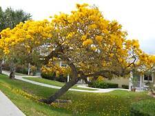 "20+ YELLOW  ""TREE ROSE""  Seeds    USA SELLER SHIPS FREE"