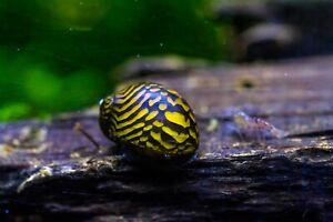 5 x Batik Nerite snails, Fresh Water Snail
