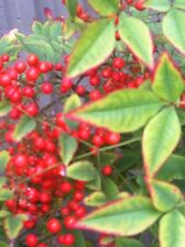 NANDINA DOMESTICA SACRED BAMBOO 1000 Seeds FROSTS OK Fresh Sep 15