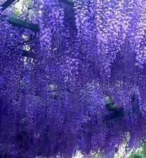 9ft-10ft Wisteria prolific - GRAFTED,Shipped at 10ft inc. pot,1-3 stems, 12litre