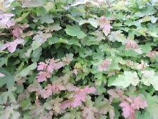Acer Strauchpflanzen für gemäßigtes Klima mit hohem Wasserbedarf