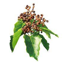 Japonais rosinenbaum Hovenia Dulcis frosthart 5 Graines