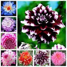 20Pcs Mix Dahlia flower seeds Great Bonsai Plant Perennial Stunning bloom new