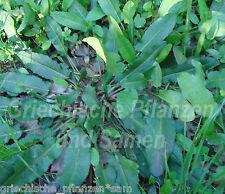 sauerampfer pluriannuel Heilpflanze + PLANTE AROMATIQUE 50 graines frais
