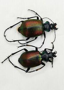 Carabidae, Carabus sp, Calosoma, pair, Xinjiang, China